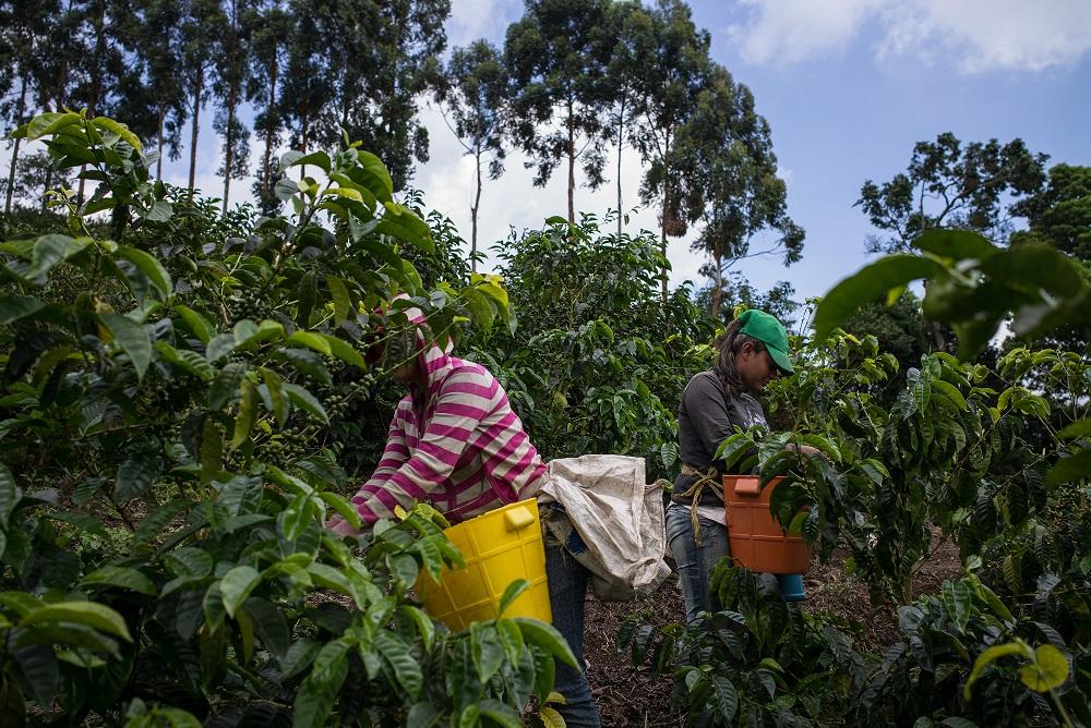 Las mujeres de la familia ayudan en la cosecha de café.