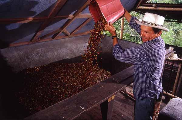 Beneficio del café. Tolva con cerezas de café