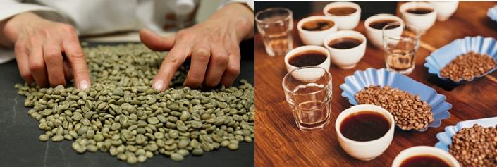Figura 1. Granos de café verde (seco y trillado) para análisis de calidad física. Figura 2. Infusión de café preparada para realizar análisis de calidad en taza.