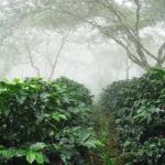 cultivo de café orgánico bajo sombra