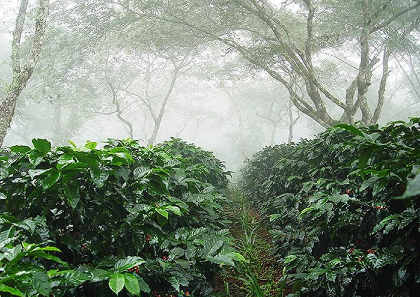 Cultivo de café orgánico bajo sombrío de árboles