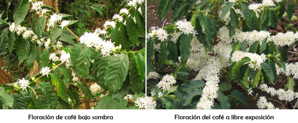 Plantas de café en floración
