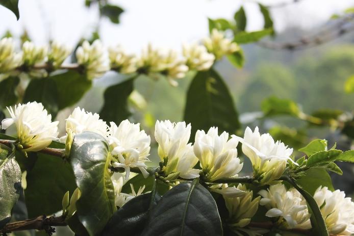 Floración de una planta de café.