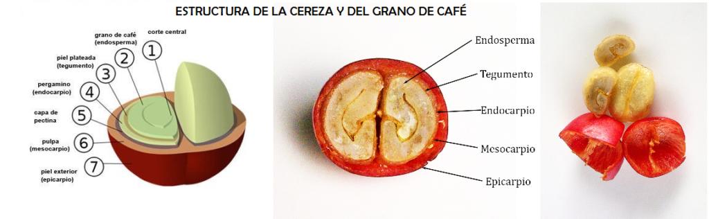 Estructura de la cereza y del grano de café.