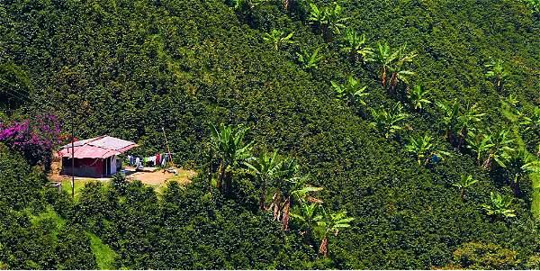 Cultivo de café tecnificado a libre exposición y alta densidad de siembra.