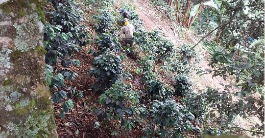 Sistema tradicional de cultivo de café en ladera y bajo sombra