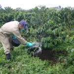 productor fertilizando cafe