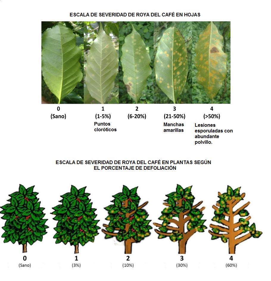 Foto que muestra las diferentes escalas de incidencia y severidad de roya en plantas de café.