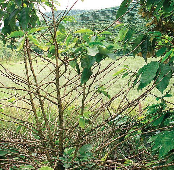 Árbol de café defoliado por efecto del ataque de Roya.