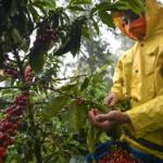 Prevenir coronavirus cosecha cafe