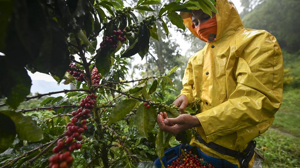 Recolector de café haciendo la cosecha del grano.