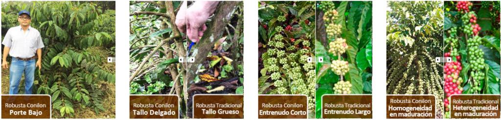 Variedad de café Conilón. Se muestra  la diferencia entre un Canephora y un Robusta en cuanto al porte de la planta, el grosor del tallo, la conformación de los racimos de granos y la maduración del fruto.