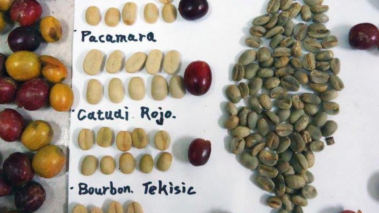 Semilla de caf/é Semilla de cafeto 300 semillas