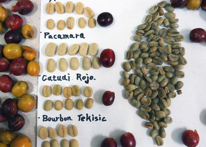 Variedades del cafe