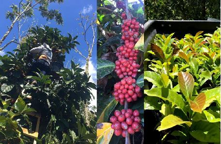 Árbol de café de la especie libérica, rama con frutos y plantas de almacigo con los primordios foliares color bronce.