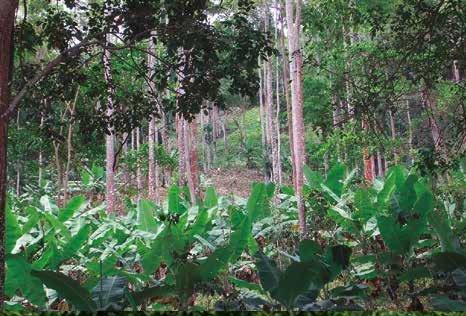 La implementación de Sistemas agro forestales conformado por Pardillo, Café y Plátano cambur evitan la formación de suelos degradados en el cultivo de café..