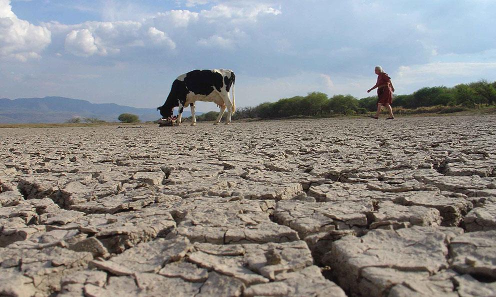 Paisaje de suelo degradado a causa de la desertificación. Una res buscando comida en medio de un desierto creado por el mal manejo agrícola del suelo.