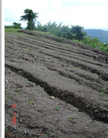 Cultivos sembrados en el sentido de la pendiente lo que origina suelos degradados por erosión en surcos.