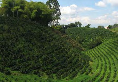 La siembra en curvas de nivel evita los suelos degradados en el cultivo de café.