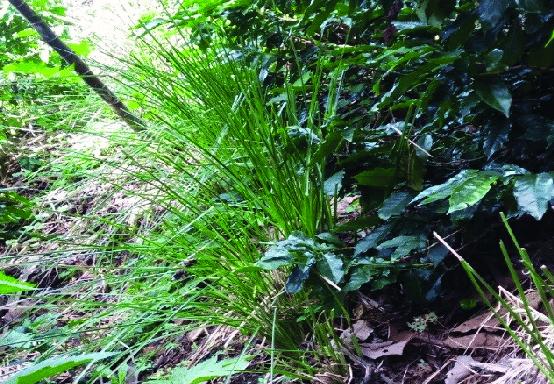 Las Barreras vivas con Vetiver  evitan la formación de suelos degradados en el cultivo de café.