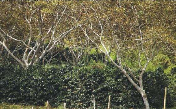 El sombrío de Guamos (Inga spp) evita la formación de suelos degradados en el cultivo de café.