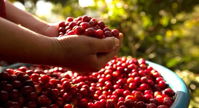 Producción de café. Canasto con cerezas de café recién recolectado.